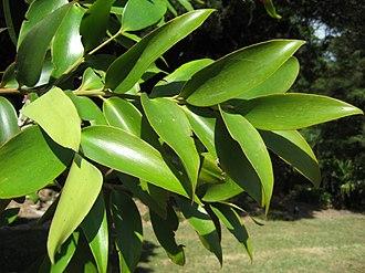 Araucariaceae - Agathis robusta