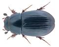 Agoliinus nemoralis (Erichson, 1848).png