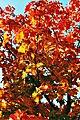 Ahornbaum im Herbst - panoramio (1).jpg