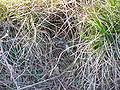 Alauda arvensis nest 1 beentree.jpg