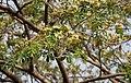 Albizia lebbeck (Siris) in Hyderabad W IMG 7118.jpg