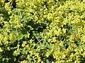 Alchemilla vulgaris0.jpg