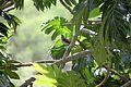 Allenia fusca in Coulibistrie-a02.jpg