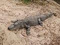 Alligator mississippiensis - Oasis Park - 14.jpg