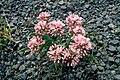 Allium macrum 1206085.jpg