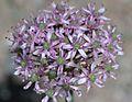 Allium tel-avivense Eig. (Amaryllidaceae)-2F.JPG