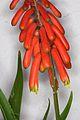 Aloe ciliaris tidmarshii pm 01.JPG