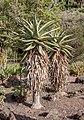 Aloe marlothii - Jardín Botánico Canario Viera y Clavijo - Gran Canaria.jpg