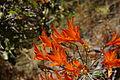 Alstroemeria ligtu ssp simsii 2 (14454913306).jpg