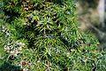 Alta Garrotxa Juniperus.jpg