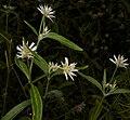 Alternanthera echinocephala.jpg