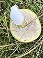 Amanita phalloides 89452907.jpg
