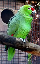 A green parrot with red-tipped wings and forehead, and white eye-spots