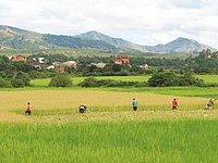 Rice crop in Madagascar