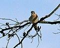 American Kestrel, Okmulgee, Oklahoma (367542659).jpg