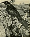 American ornithology for the home and school (1902) (14747015951).jpg