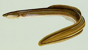 Amerikanischer Aal (Anguilla rostrata)