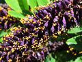 Amorpha fruticosa Muromets2.JPG