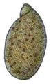 Amphibulima browni shell 3.png