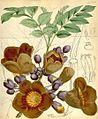 Amphitecna macrophylla00.jpg