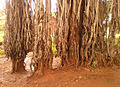 An old Banyan tree near Kummaripalem 01.jpg