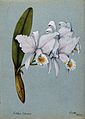 An orchid (Cattleya Schoderae); flowering stem. Watercolour, Wellcome V0043273.jpg