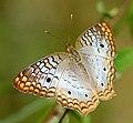 Anartia jatrophae.jpg