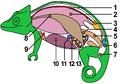 AnatomieCaméléon tagged.png
