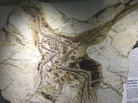 Anchiornis huxleyi - middle jurassic Liaoning IMG 5202 Beijing Museum of Natural History.jpg
