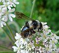 Andrena cineraria. Apidae. ( Female^ ) - Flickr - gailhampshire.jpg