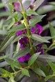 Angelonia angustifolia Angelmist Plum 0zz.jpg