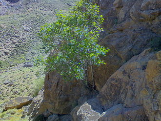 Common fig - Mountain fig tree in Zibad
