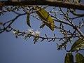 Ankole-da mara (Tulu ಅಂಕೋಲೆದ ಮರ) (5486121226).jpg