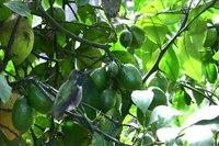 File:Anna's hummingbird (Calypte anna) in California.webm