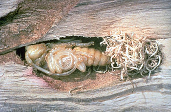 Asian Longhorned Beetle pupa inside log with f...