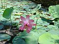 Another lotus flower.jpg