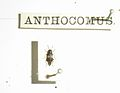 AnthocomusErichson1840.JPG