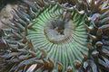 Anthopleura sola, Moss Landing.jpg