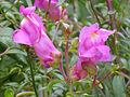 Antirrhinum graniticum subsp. boissieri Enfoque 2012-11-01 SierraMadrona.jpg