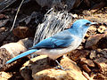 Aphelocoma wollweberi Big Bend NP 1.jpg