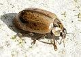 Aphidecta-obliterata-03-fws.jpg