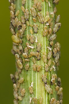 Aphids feeding on fennel.jpg