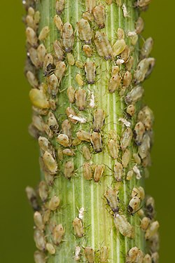 Aphids feeding on a fennel stalk