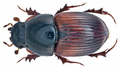 Aphodius foetens (Fabricius, 1787) (14816225735).png