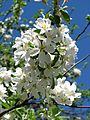 Apple blossom (Malus domestica) 24.JPG