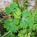 Aquilegia vulgaris in Aveyron (12).jpg
