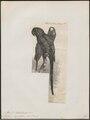 Ara hyacinthina - 1880 - Print - Iconographia Zoologica - Special Collections University of Amsterdam - UBA01 IZ18500129.tif