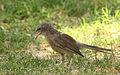 Arabian Babbler.jpg