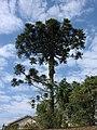 Araucaria angustifolia arvore 1.jpg