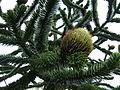 Araucaria araucana female Kyloe.jpg